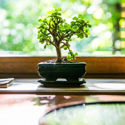 Restoran Haku bonsai